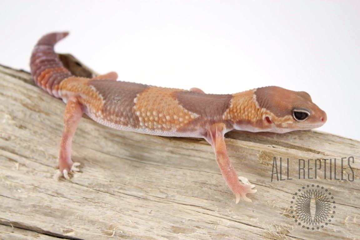 Caramel African Fat Tail Gecko