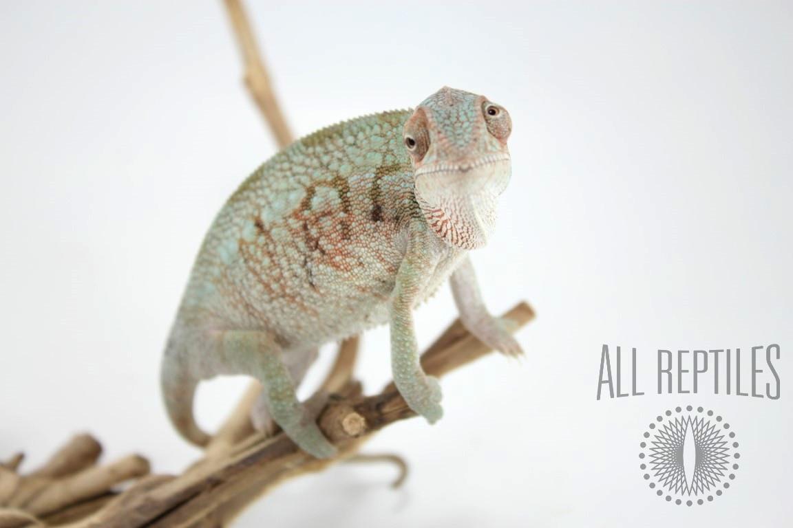Nose Be X Ambilobe Panther Chameleon