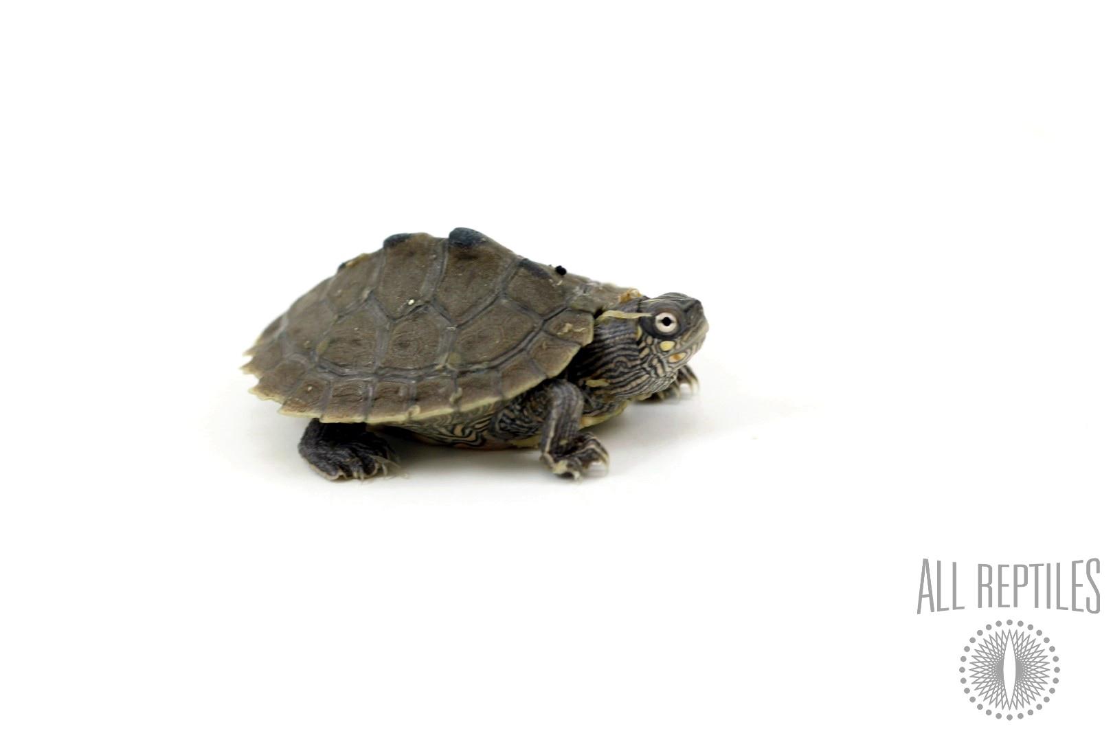 Mississippi Map Turtles