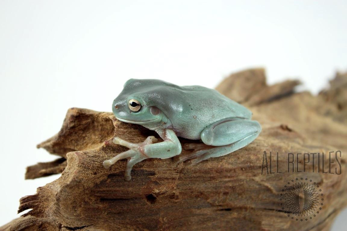 CB Baby White's Tree Frog