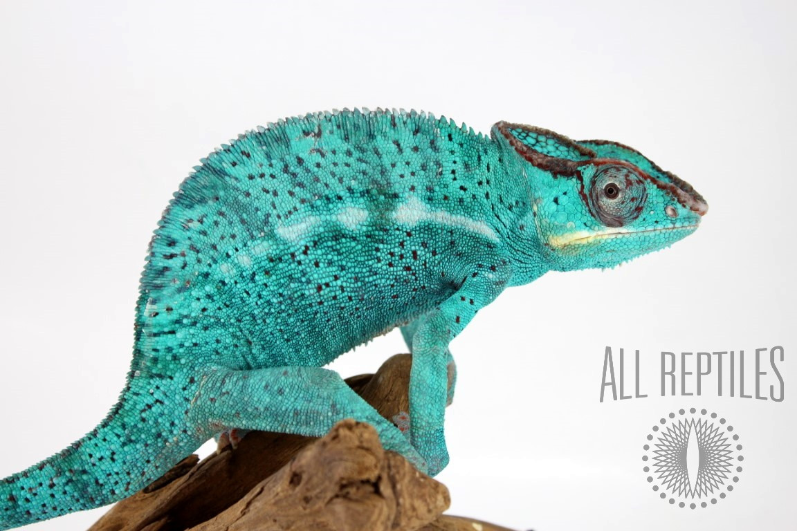 Nose Be Panther Chameleon