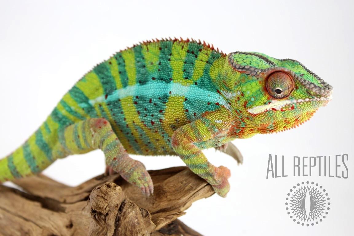 Blue Bar Ambilobe Panther Chameleon