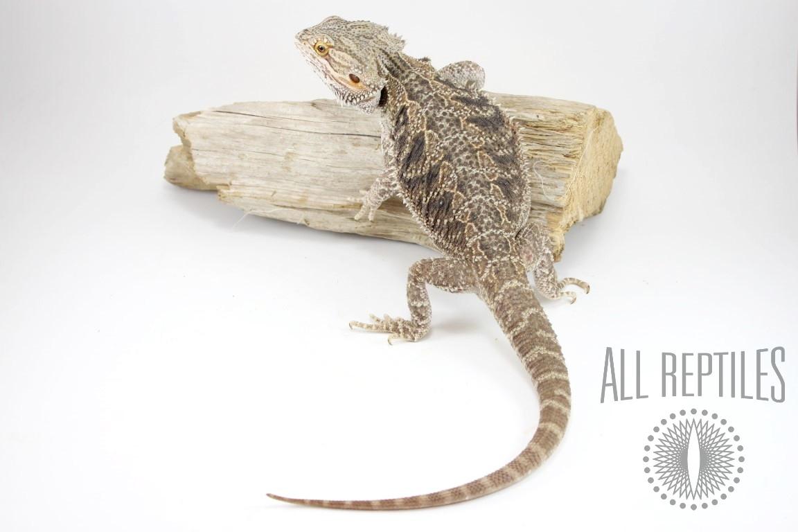 Normal Bearded Dragon