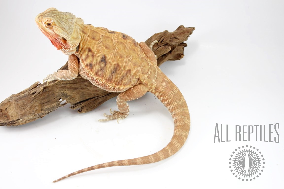 Orange Leatherback Hypo Bearded Dragon