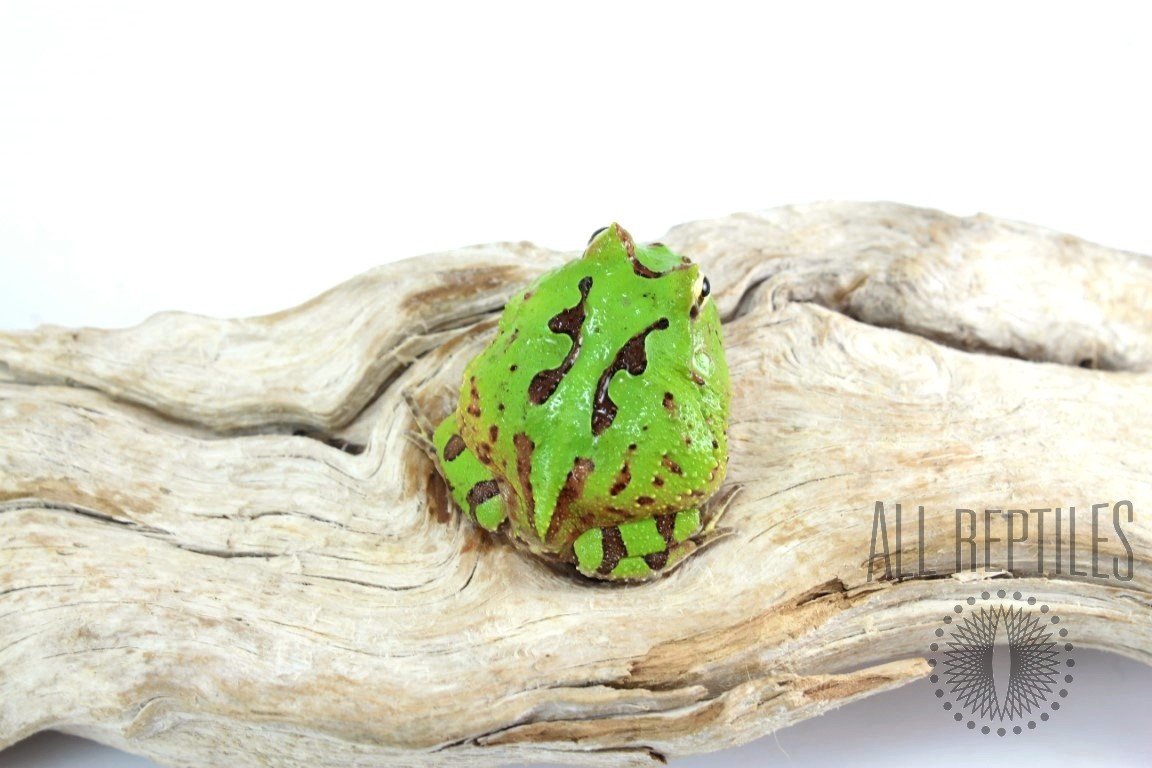 Fantasy Pacman Frog