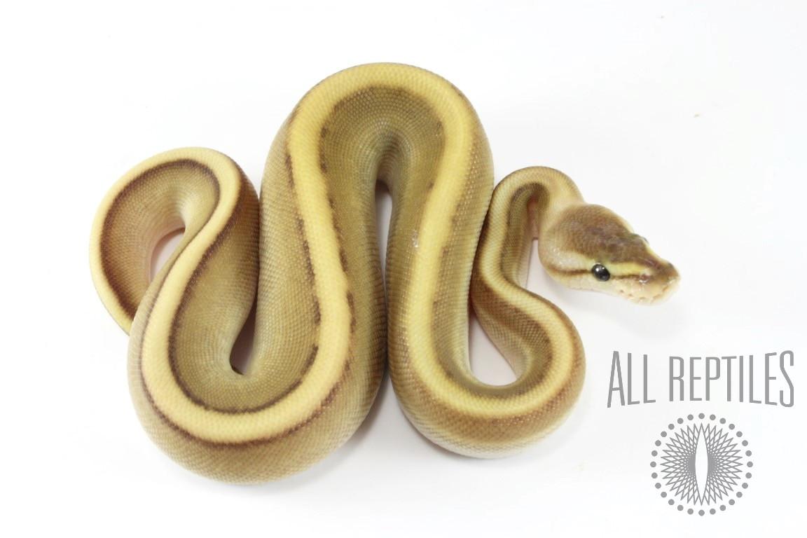 Lesser Genetic Stripe Ball Python