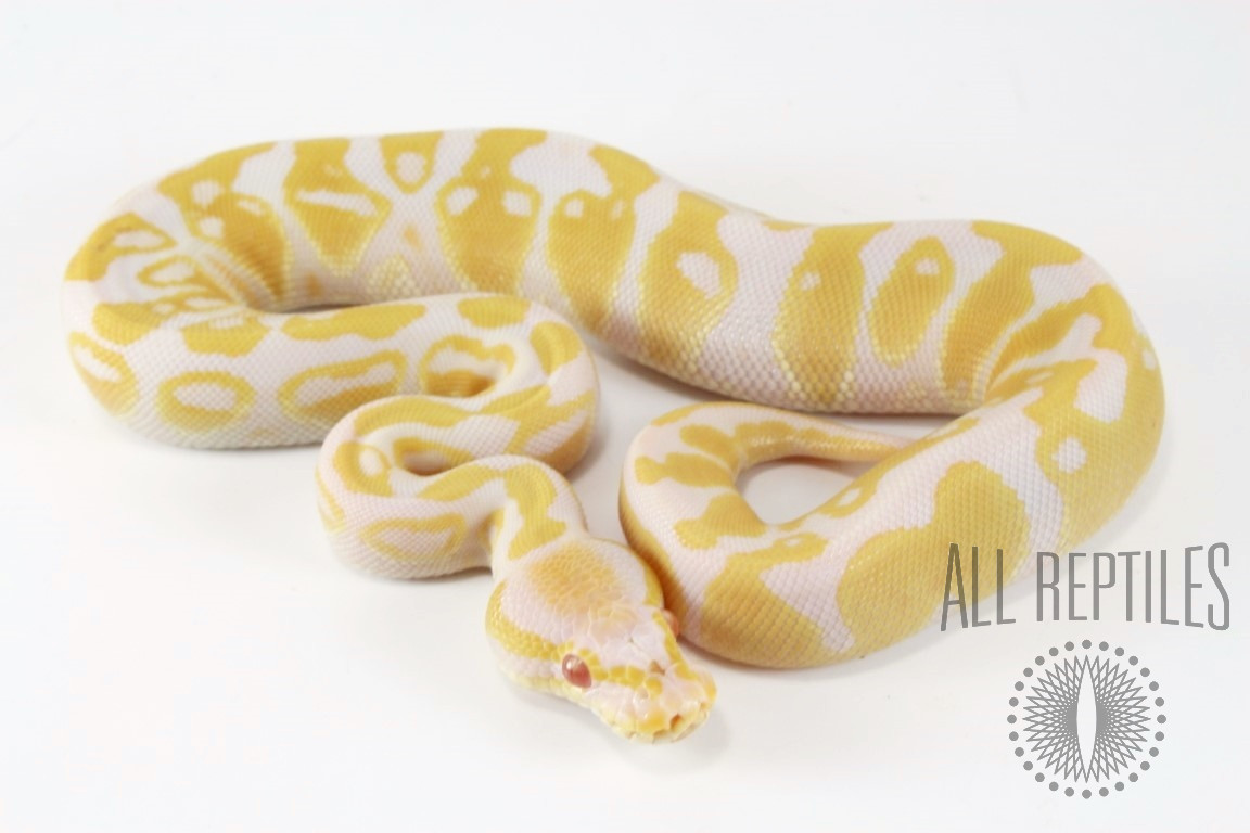 Albino Gravel or Yellow Belly Ball Python