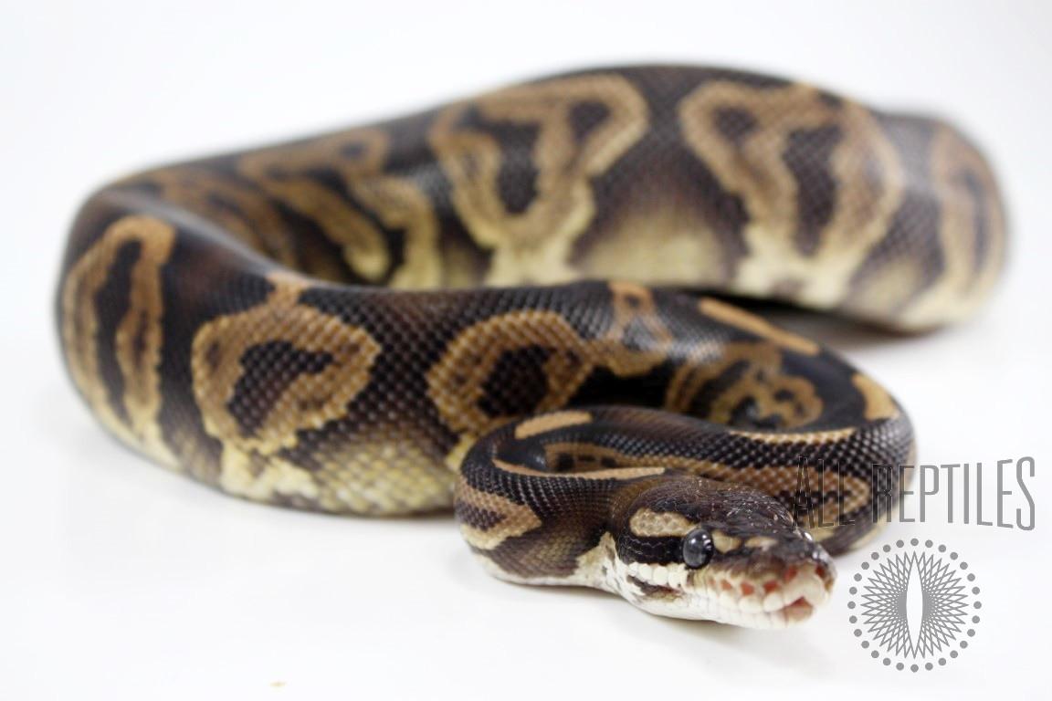 Black Pastel Leopard Ball Python