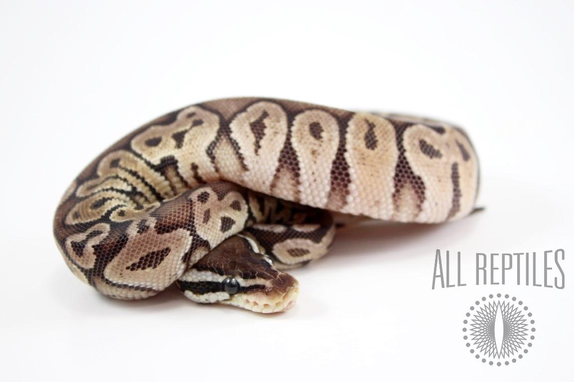 Black Pewter Yellow Belly Ball Python
