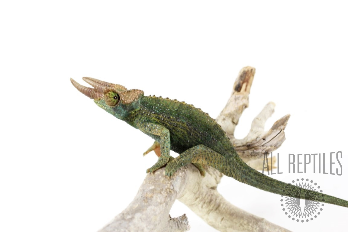 Rainbow Jackson's Chameleon