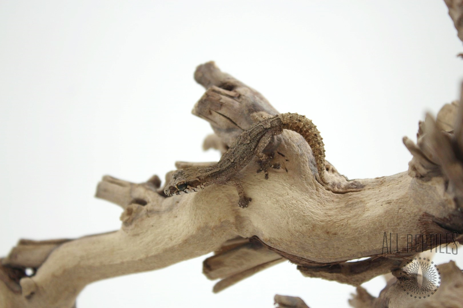 Androyensis Dwarf Gecko