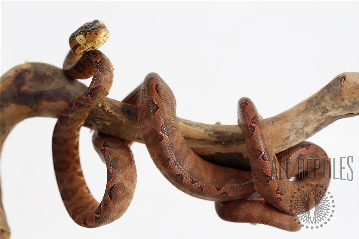 Half Patterned Amazon Tree Boa