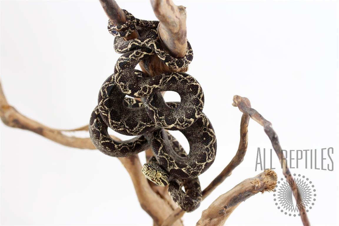 Patterned Amazon Tree Boa