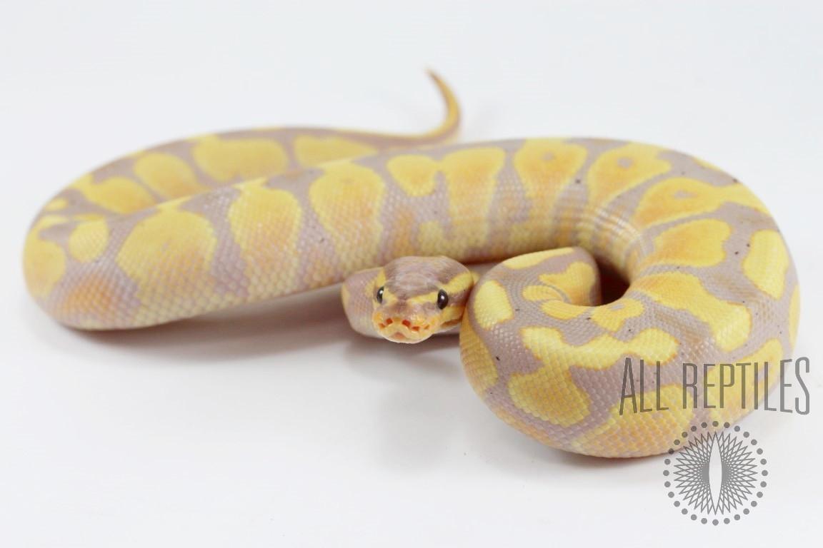 Banana Yellow Belly Ball Python