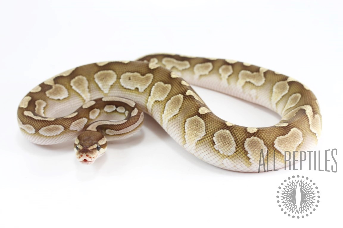 Lesser Chocolate Ball Python