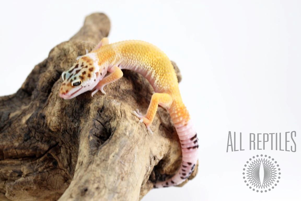 Giant Blood Tangerine Leopard Gecko