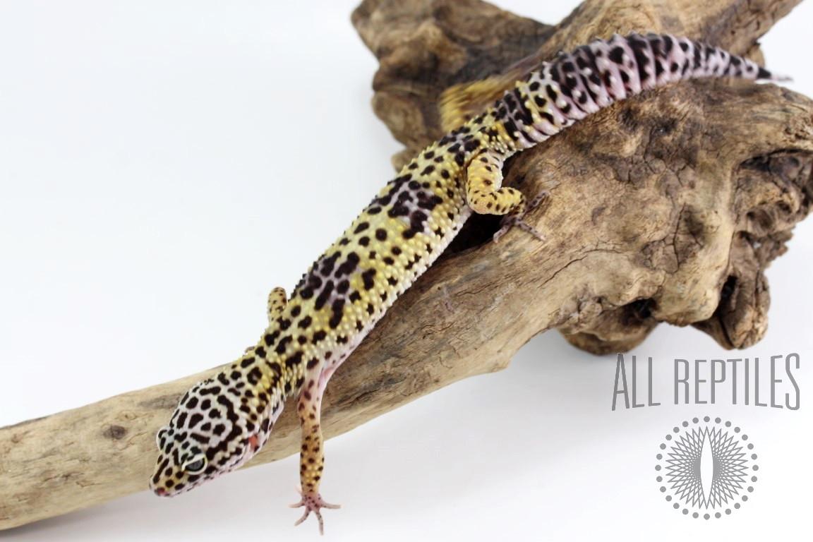 Classic Leopard Gecko
