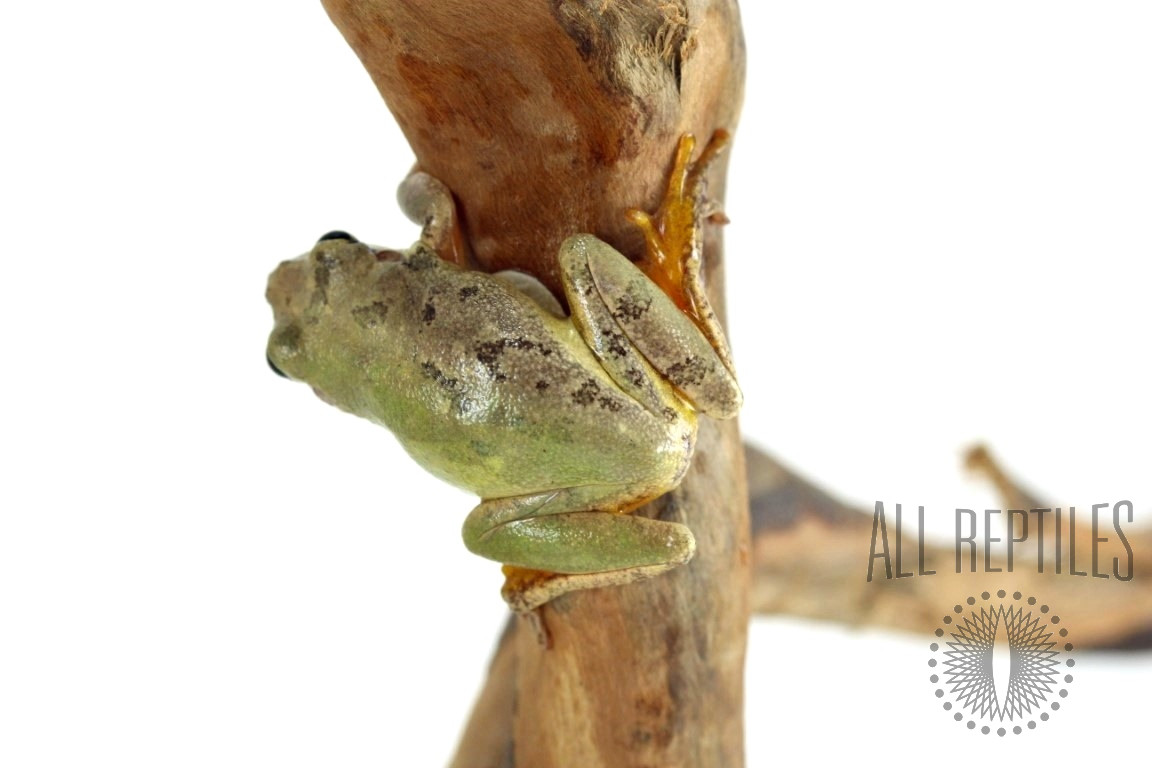 Squirrel Tree Frogs