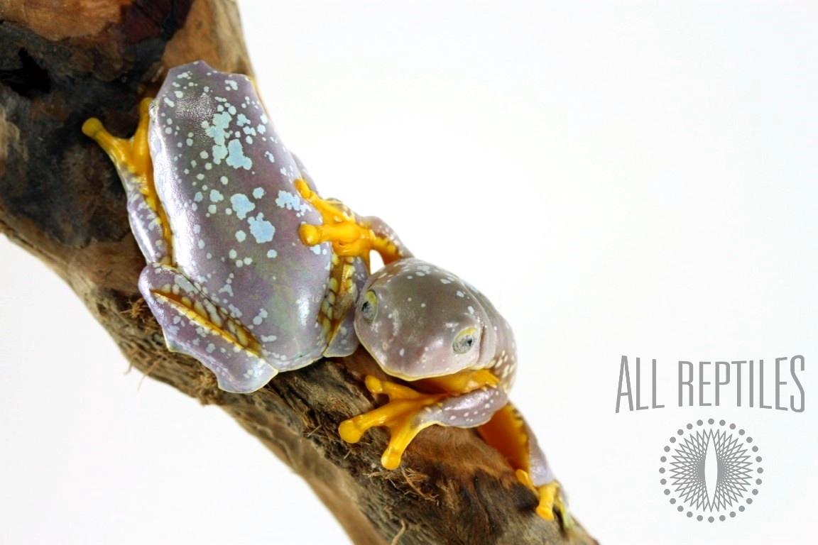 CB Fringed Leaf Frog