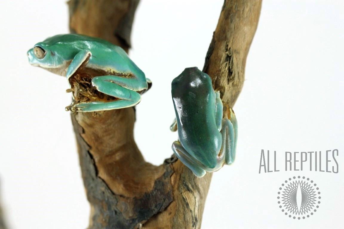 CB Giant Waxy Monkey Tree Frog