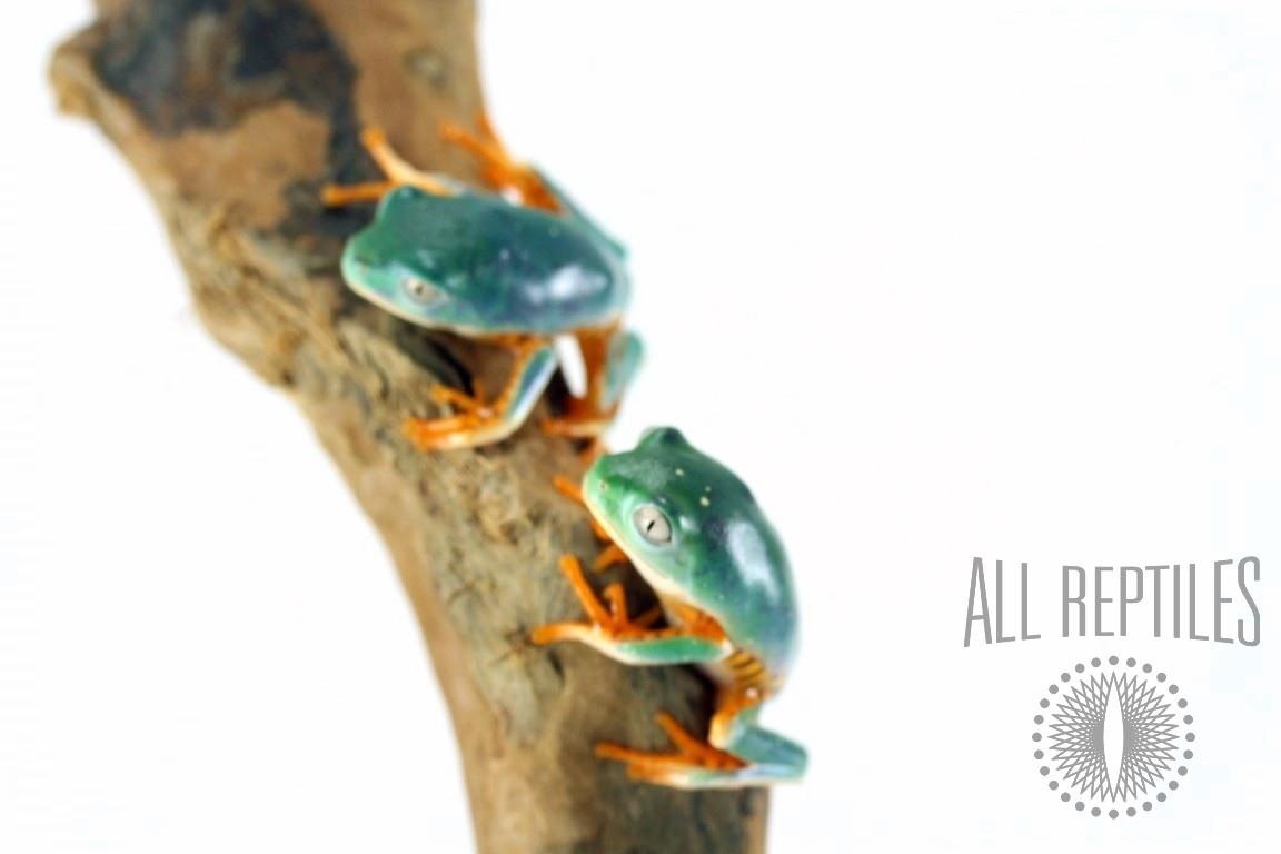 CB Super Tigerleg Monkey Tree Frog