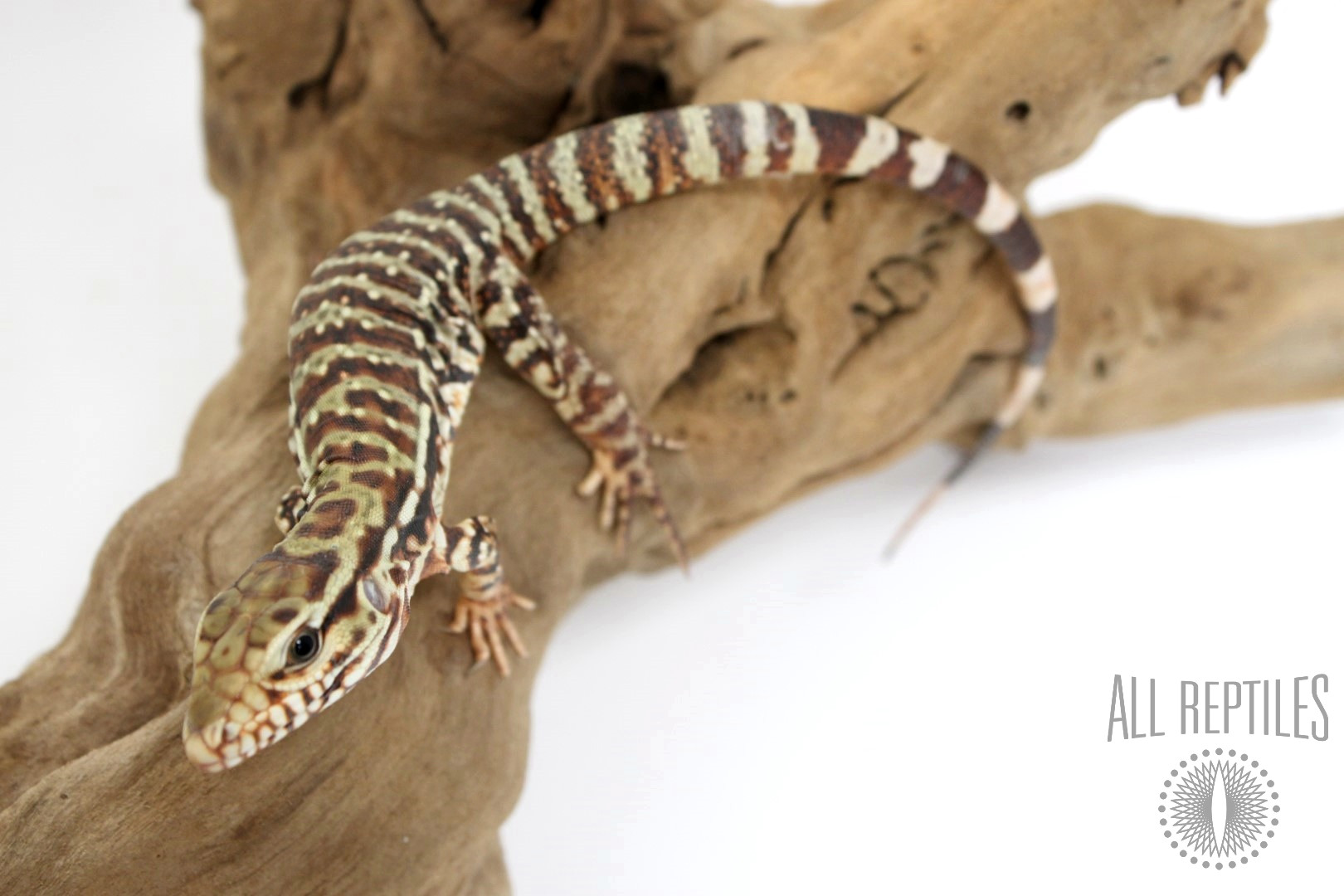Argentinian Red Tegu