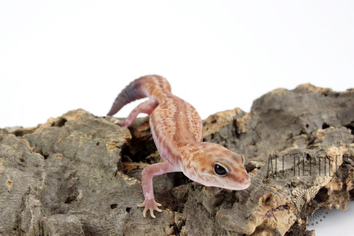 Patternless Zulu 66% Het Oreo African Fat Tail Gecko