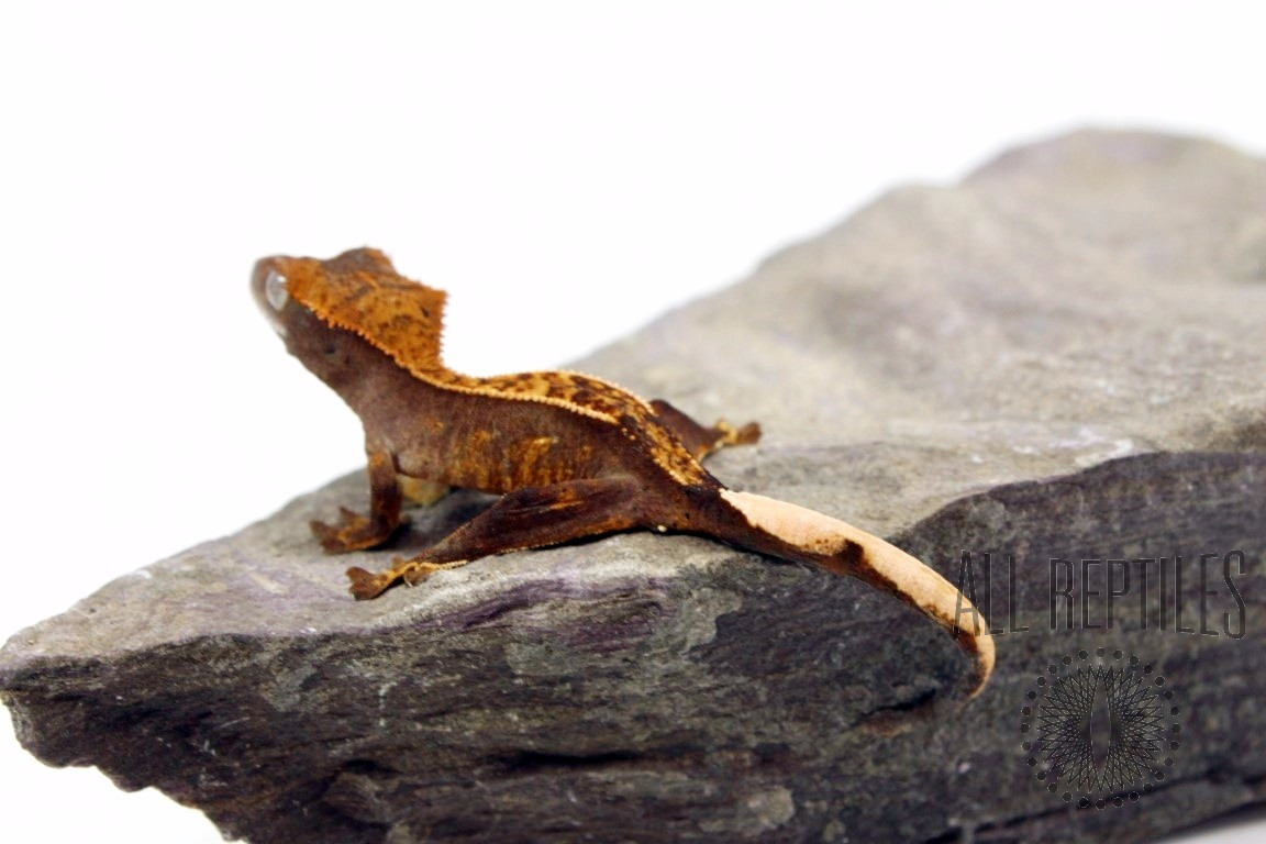 Flame Partial Pinstripe Crested Gecko