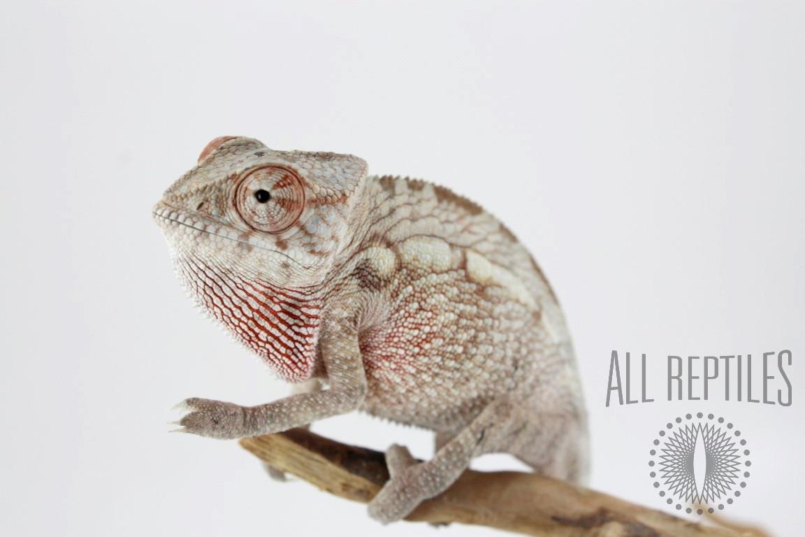 Nose Mitsio Panther Chameleon
