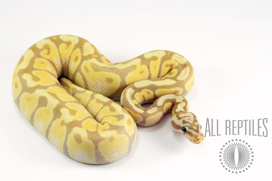 Pastel Banana Spotnose Ball Python - Female Maker