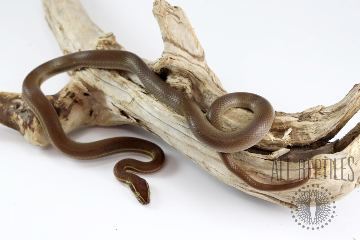 African House Snake - Red Phase