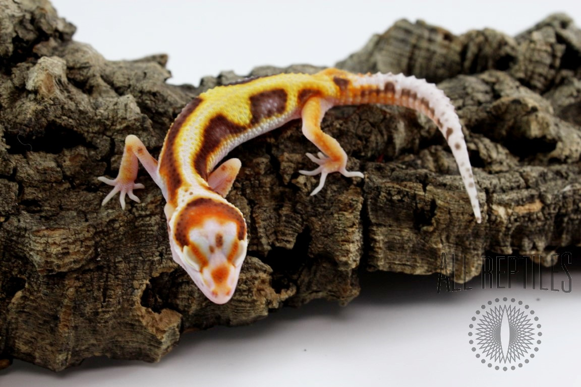 Bell Albino White and Yellow Bold Stripe Jungle Leopard Gecko