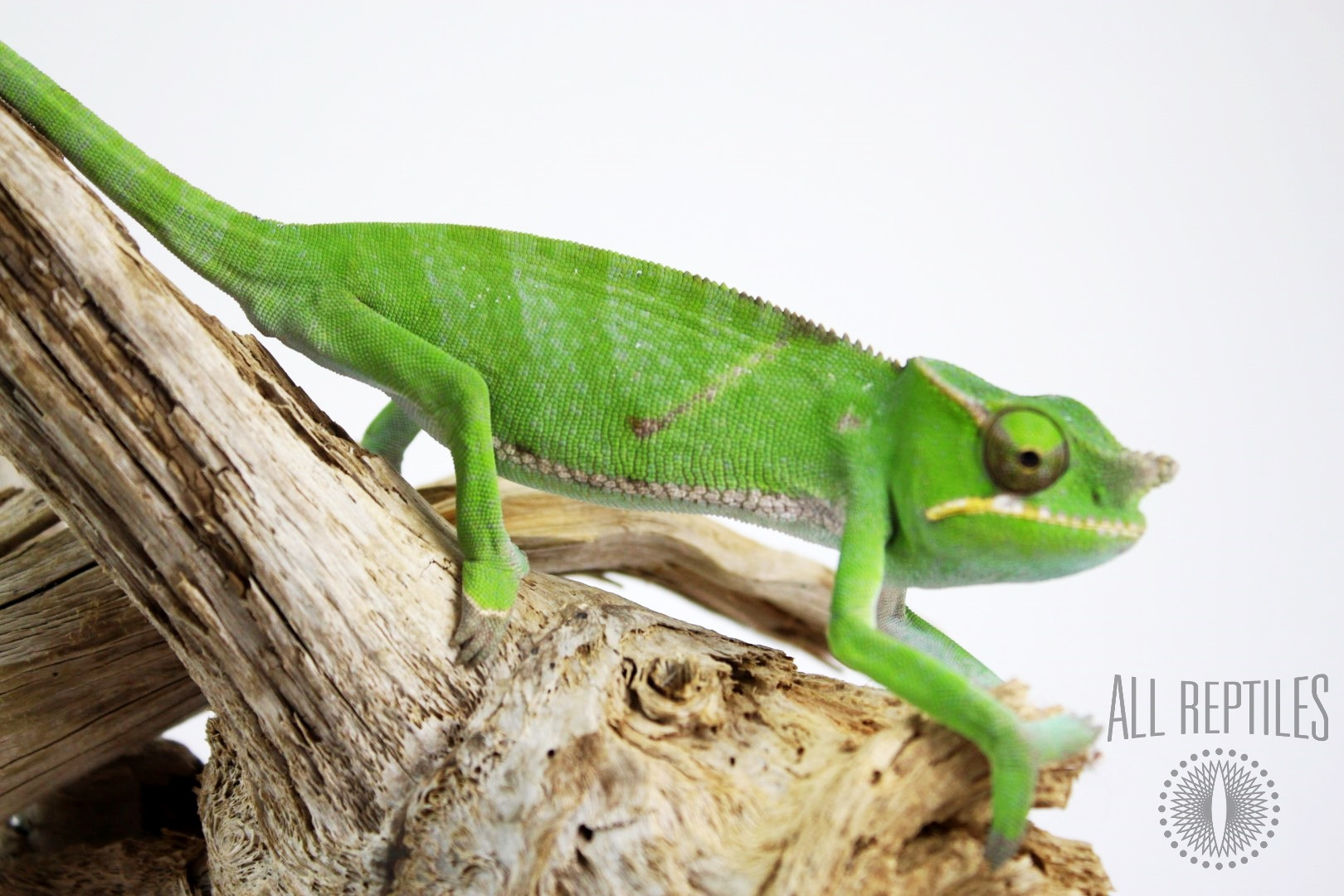 Eastern Forest Chameleon
