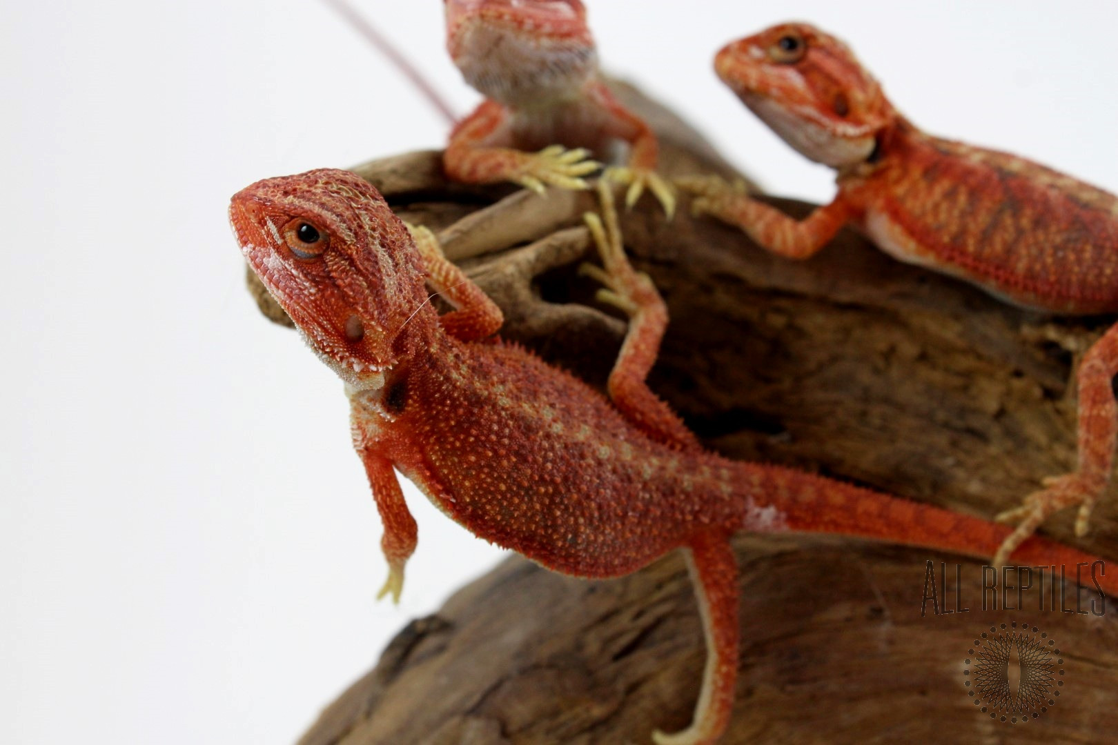Hypo Translucent Super Red Bearded Dragon
