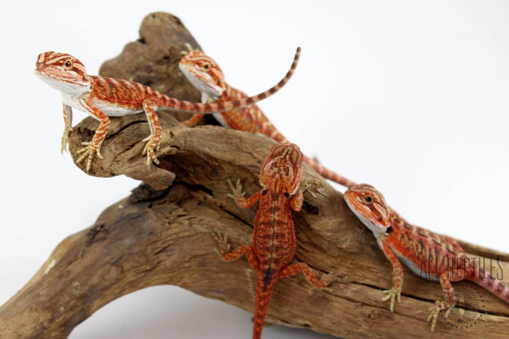 Super Red Het Translucent Bearded Dragon