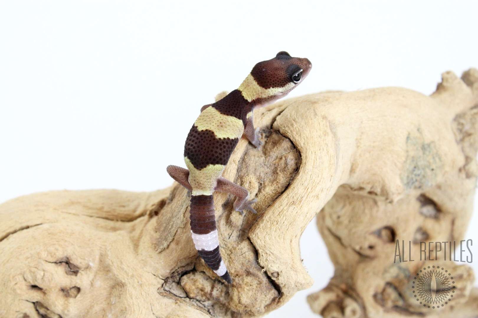 Fat Tail Gecko