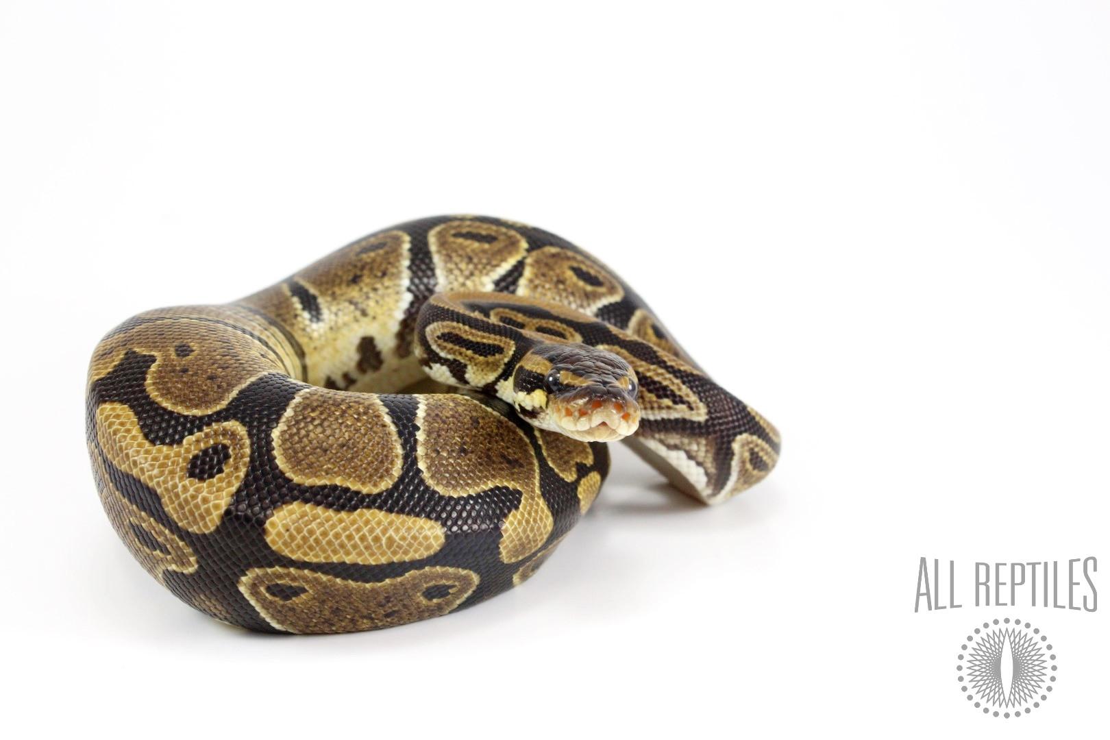 Granite Ball Python
