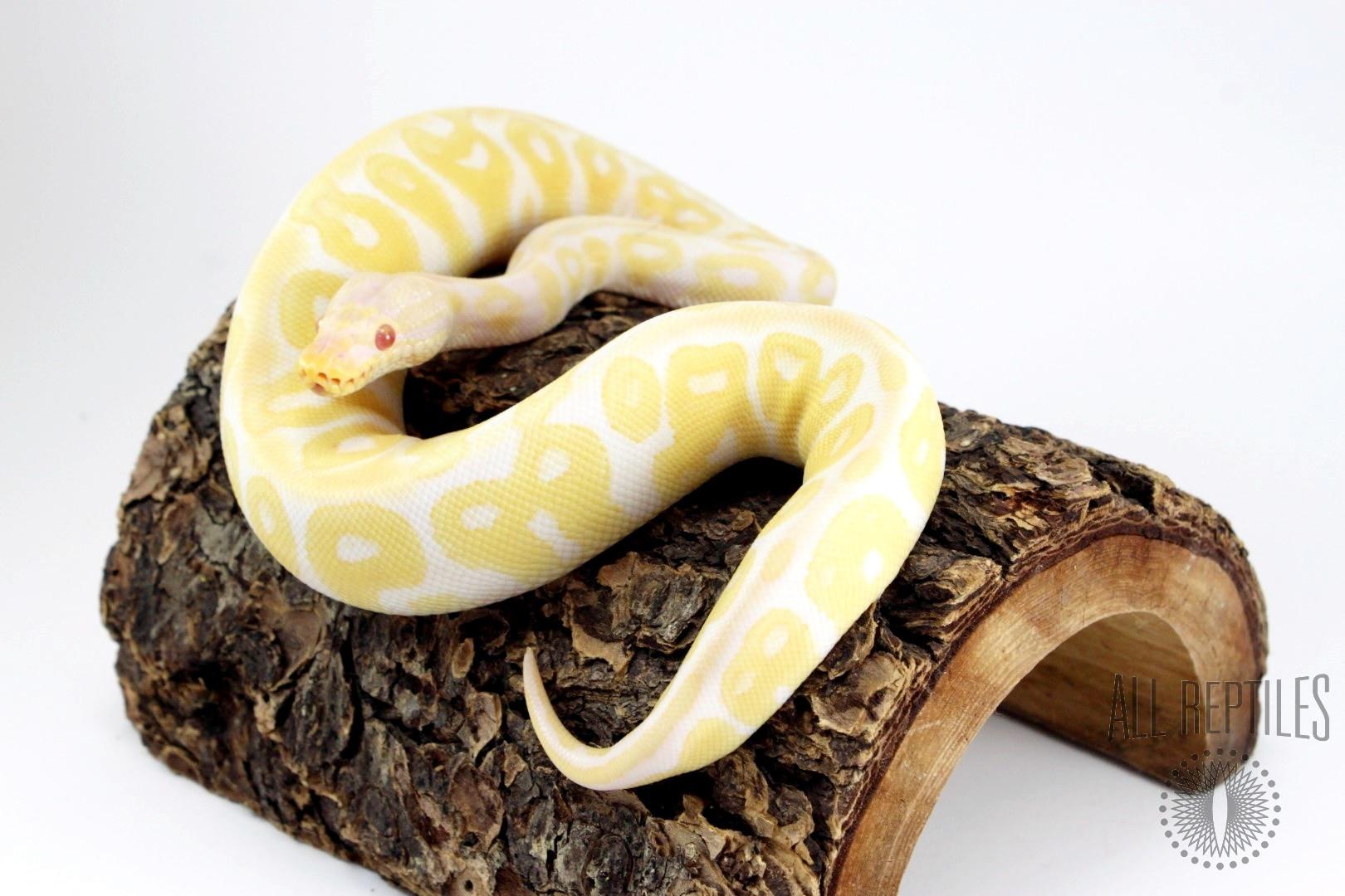 Pastel Albino Asphalt or Yellow Belly HRA Ball Python
