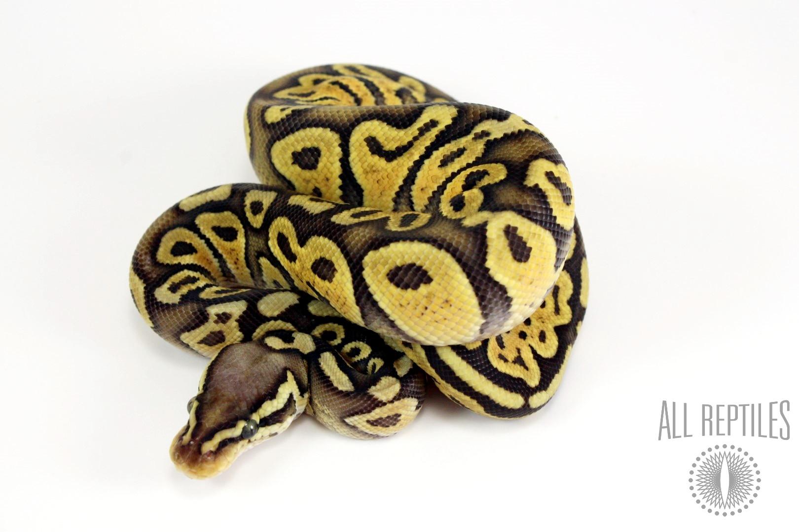 Super Pastel Chocolate Het Pied Ball Python