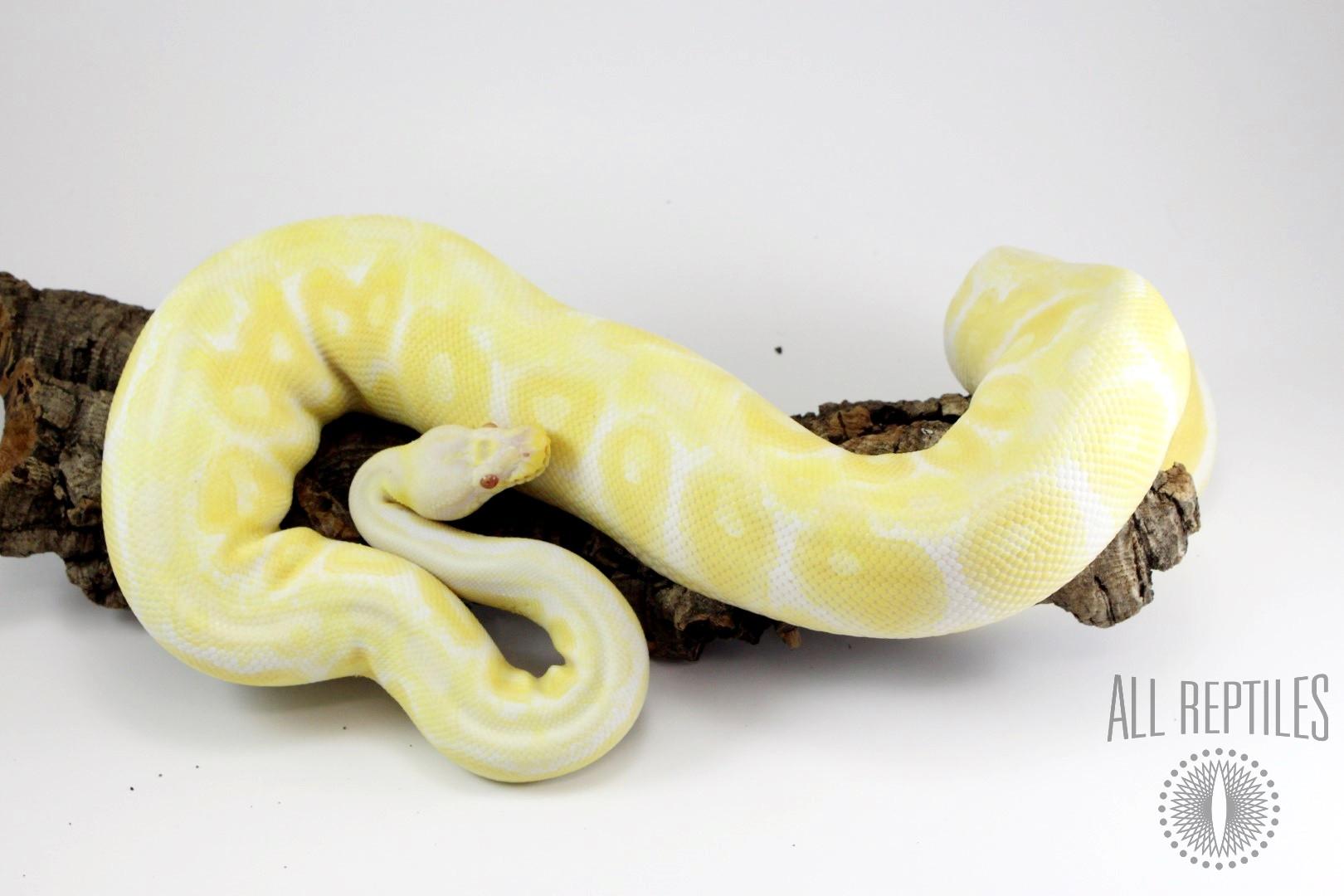 Pastel Albino Gravel/Yellow Belly Ball Python