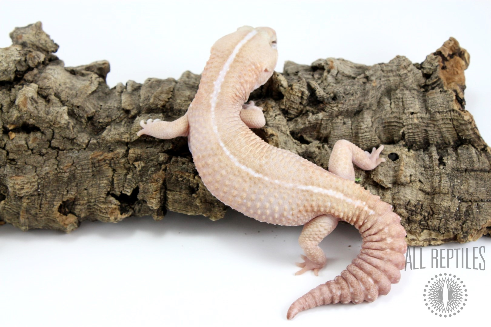 Amel Striped Fat Tail Gecko