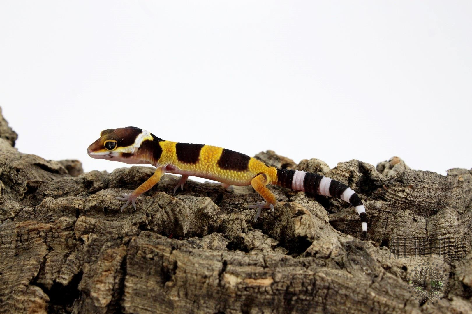 Blood Emerine Leopard Gecko