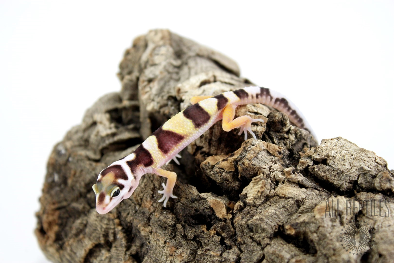 Bold Stripe Jungle Leopard Gecko