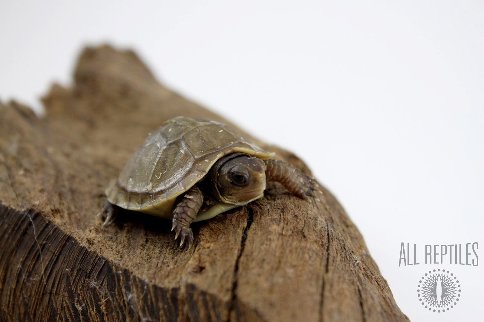 Three Toed Box Turtle