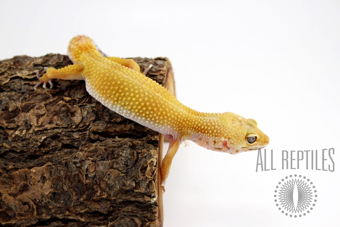 Tangerine Tornado Leopard Gecko