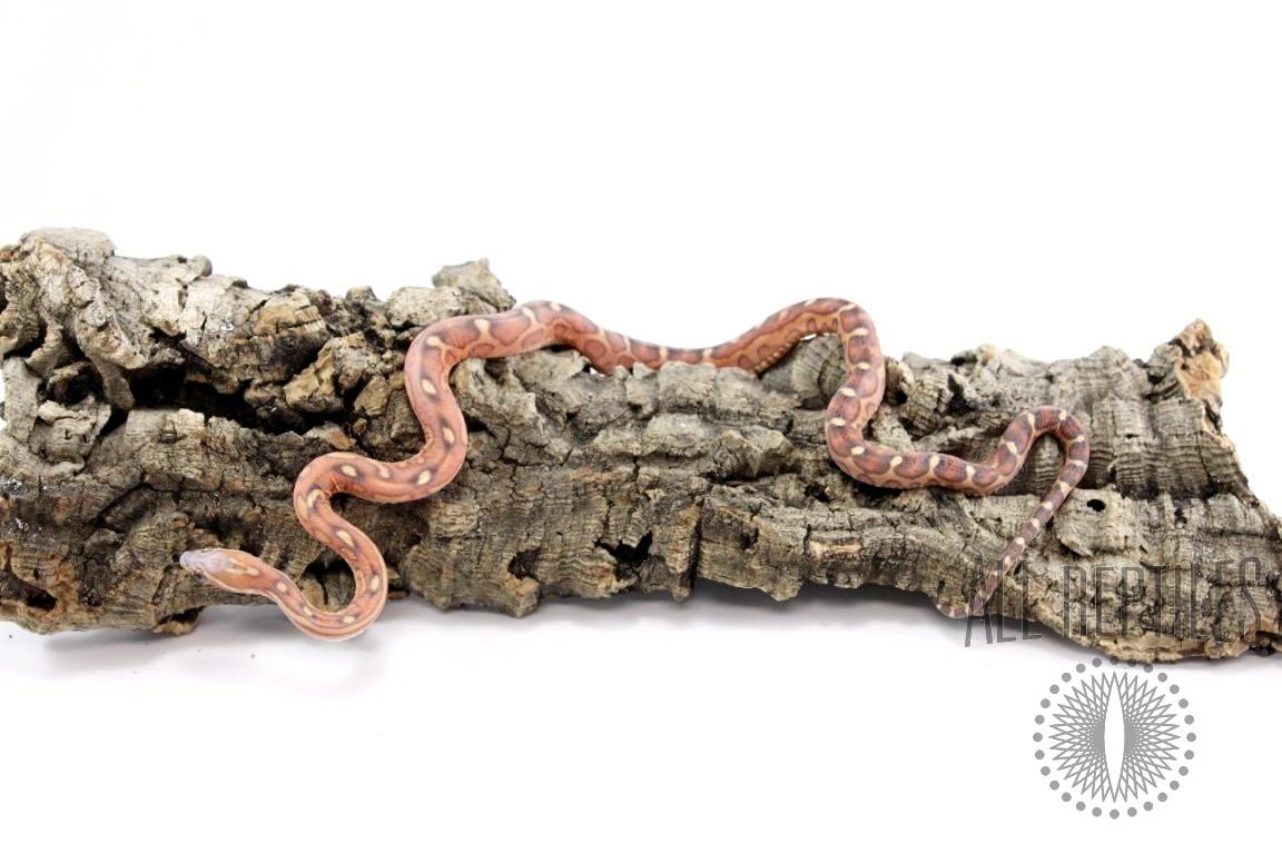 Scaleless Classic  Corn Snake