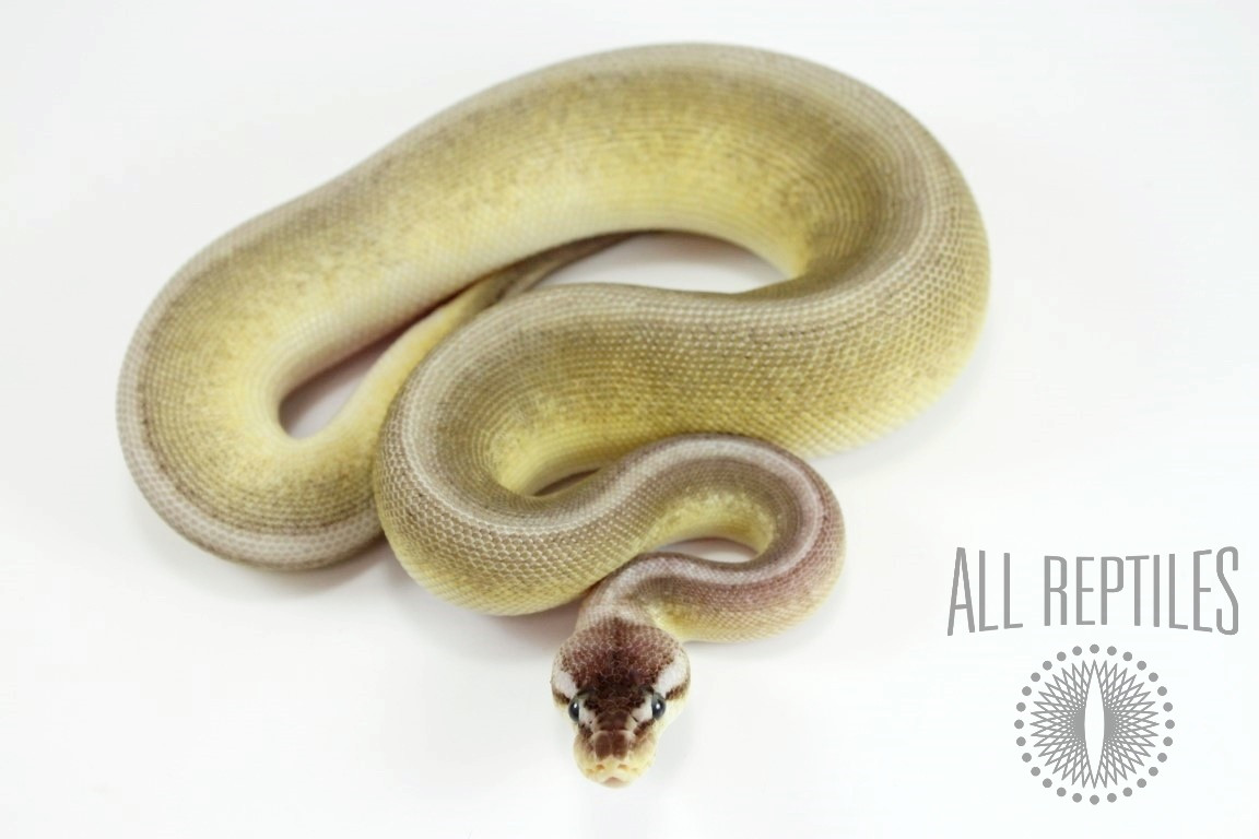 Pastel Genetic Stripe Spark HRA Ball Python