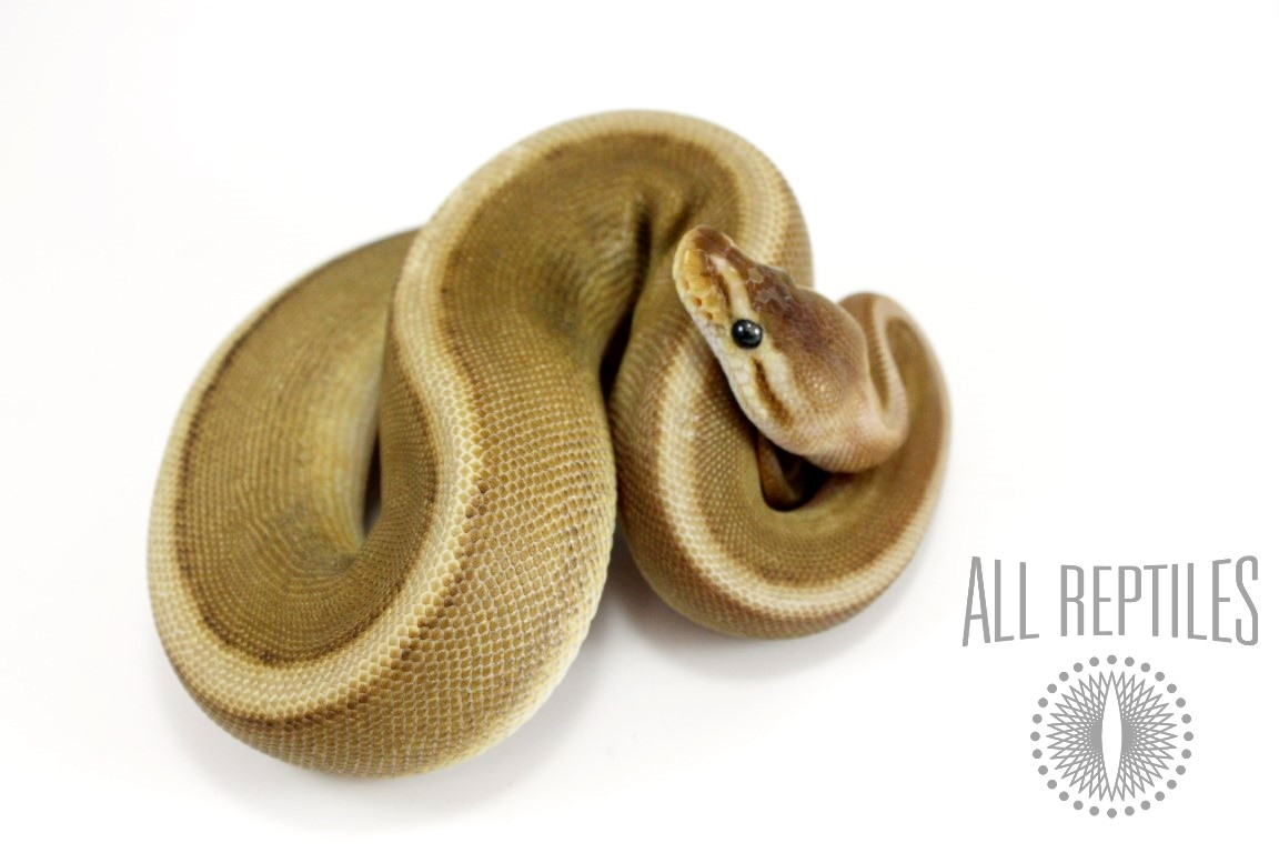 Genetic Stripe Spark HRA Ball Python