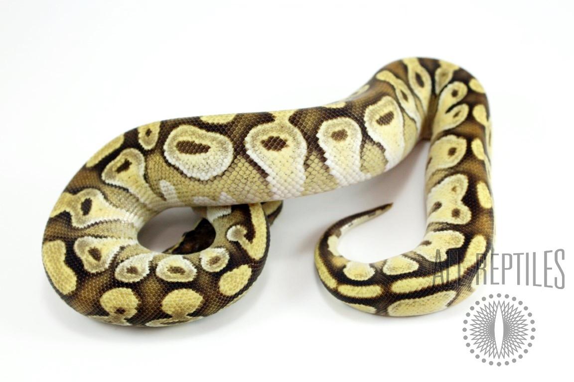 Pastel Enchi Mojave Orange Dream Ball Python