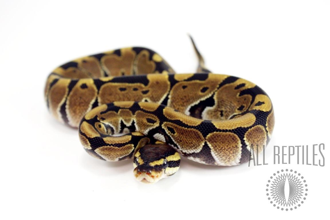 Blade Ball Python
